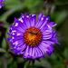 20101021 8603Aw [D~LIP] Aster, Insekt (Fliege)