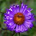 20101021 8602Aw [D~LIP] Aster, Insekt (Fliege)