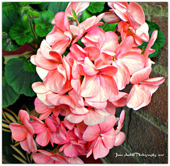Potted geranium (pelargonium)