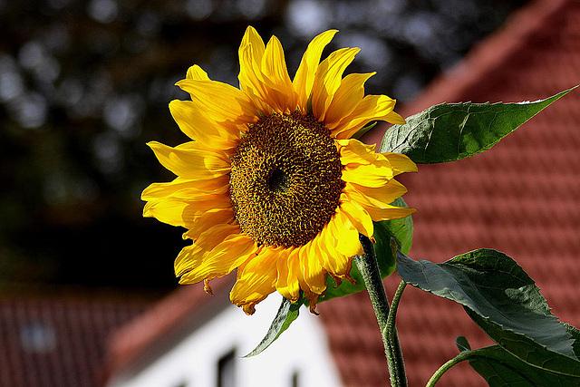 20100919 8165Aaw Zingst, Sonnenblume