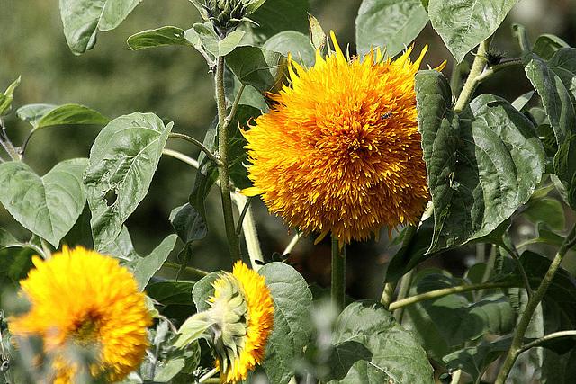 20100919 8167Aaw Zingst, Sonnenblume