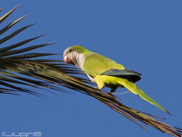 Cotorra argentina, (Myiopsitta monachus)