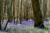 Bluebell Woods 1
