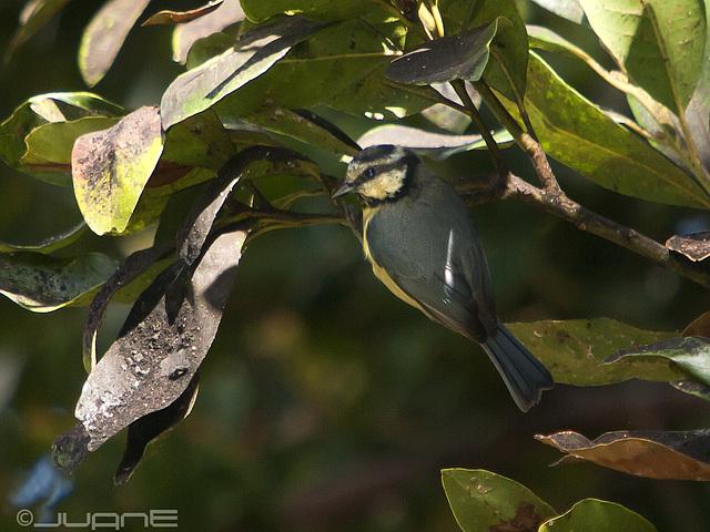 Herrerillo común (Parus caruleus teneriffae)