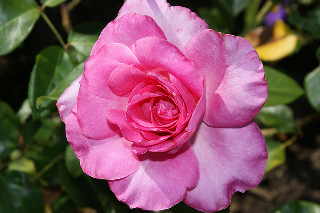 Rose du Cantal 2