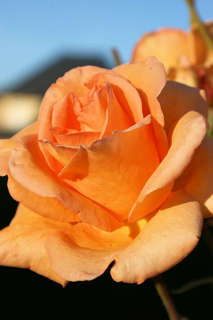 Rose du Cantal