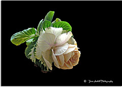 The Cabbage Flower
