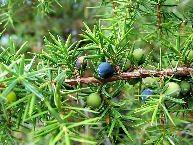 Wacholder - genévrier - juniper