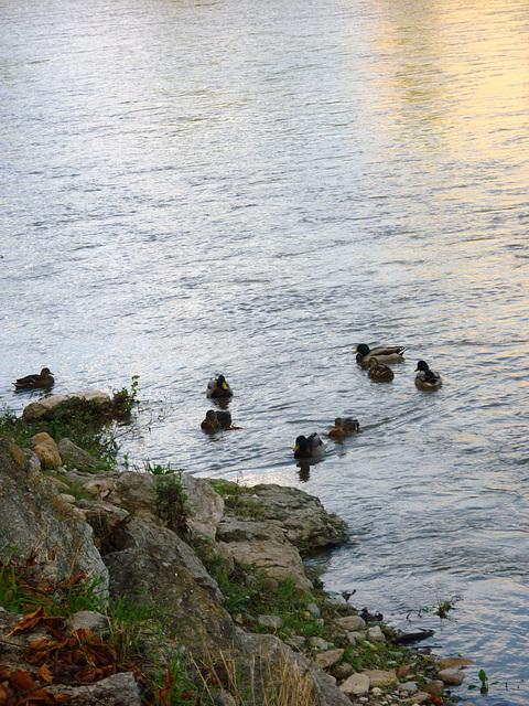 Canards sur l'Aude