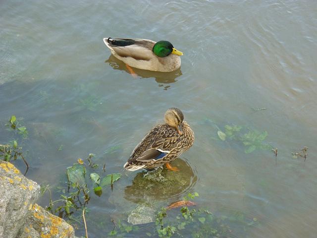 Canard sur l'Aude
