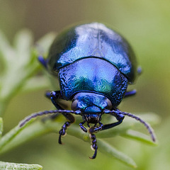 Blue metallic bug