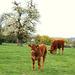les vaches et le cerisier.