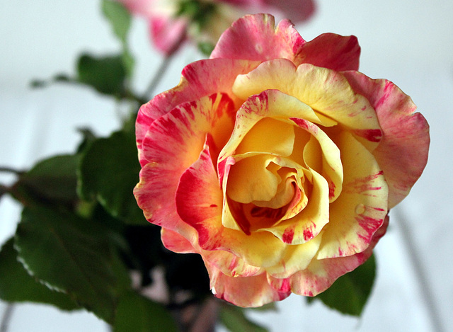 Eine duftende Rose