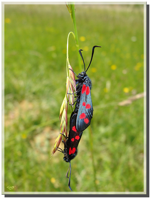Zygaena filipendulae couple