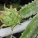 Cereus cactus...