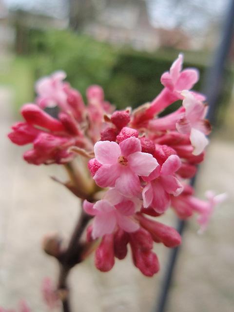 viburnum bodnantense 'dawn' P2050457