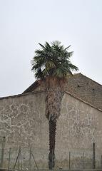 Palmier de Leuc