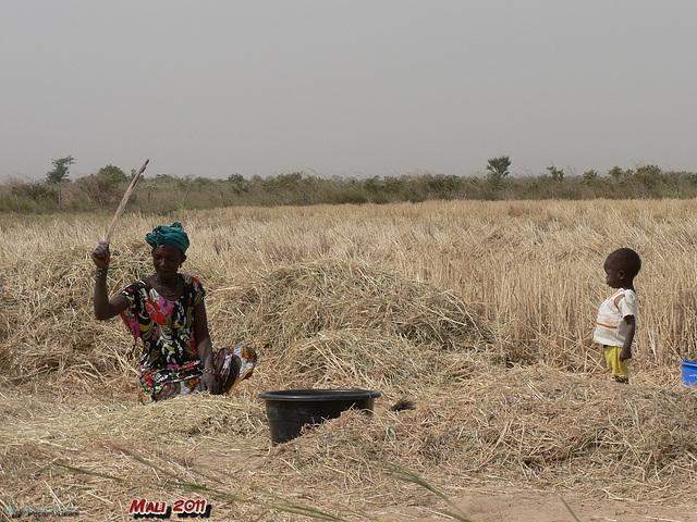 beim Getreide dreschen