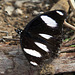 Hypolimnas misippus (♂)