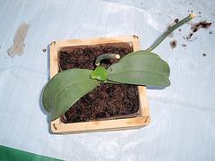 orchidées : questions, problèmes et conseils de culture 9940083.4411d922.240