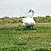 Mute swan..