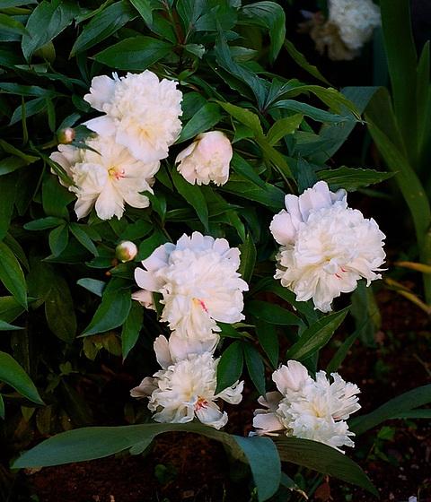 Paeonia - pivoines herbacées 9510261.67175445.560