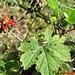 Momordica charantia (balsam pear)...  scott.zona