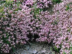 Saponaria ocymioides