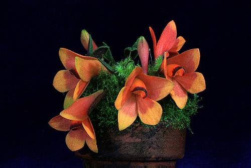 Dendrobium cuthbertsonii bicolor