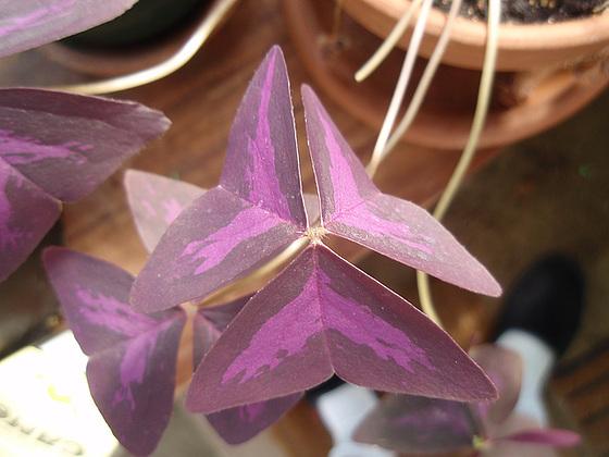 oxalis triangularis P5200135
