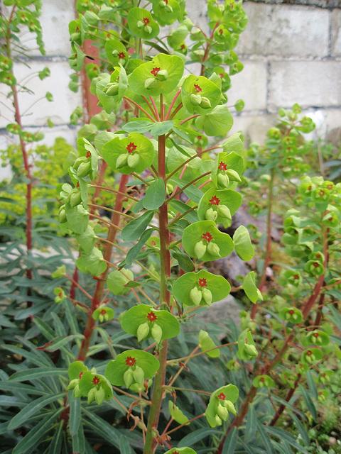 euphorbe martinii P4150143