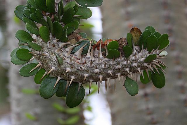 20110206 9631RAw [D~E] Madagaskarpalme, Gruga-Park, Essen