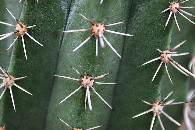20110206 9639RAw Kaktus-Stacheln, Gruga-Park