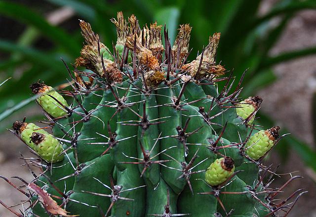 20110206 9641RAw Kaktus-Früchte, Gruga-Park