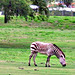 The grass is greener.... for this zebra -
