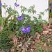 Geranium : espèces et variétés 9890793.237e5870.75x