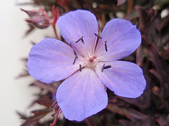 Geranium pratense 9890894.f8ca15da.560