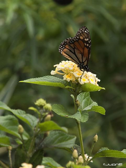 Mariposa Monarca (Danaus plexippus)