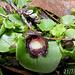 Corysanthes incurva