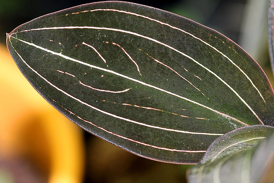 Ludisia discolor - orchidée terrestre, orchidée-bijou 9971070.3574fb54.560