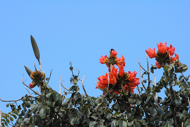 Tulpenbaum - Blüten und Früchte