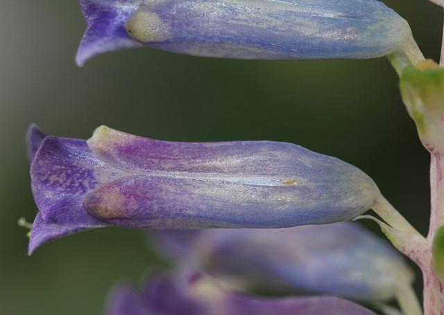 Lachenalia orchioïdes