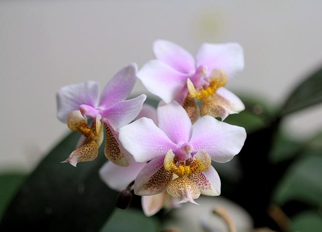 Phalaenopsis philadelphia (wiganae )