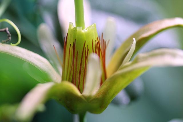 Passiflora aurantia (3)