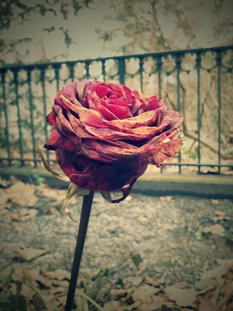 rose v. kleist