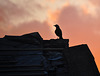 Jackdaw at sunset.