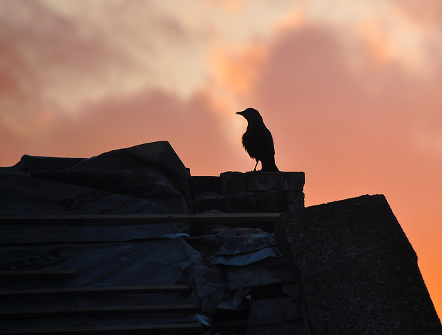 Jackdaw at sunset.