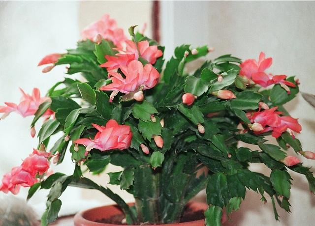 Schlumbergera hybride corail fleuri