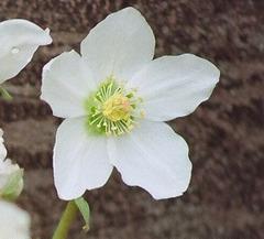 Helleborus nigra