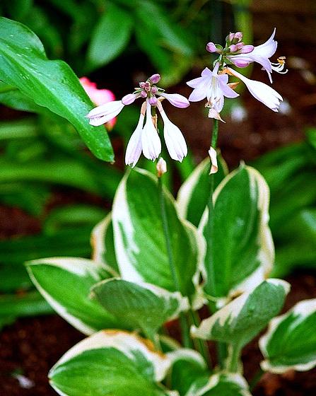 Quelques plantes d'ombre ou mi-ombre 9851171.90f3d067.560